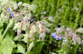 picture of borage  - Borage flowers  - JPG