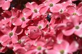 pic of dogwood  - Pink dogwood tree flowering  - JPG