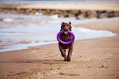 foto of chocolate lab  - chocolate labrador retriever dog on the beach - JPG