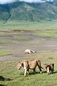 African Predators In Ngorongoro National Park, Lioness And Lion Cub.