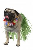 pug dog wearing Hawaiian hula outfit and lei on white