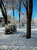 stock photo of locusts  - The rough textured bark of Black Locust trees provide a sharp contrast in a snow covered lawn - JPG