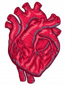image of apex  - An anatomical Red Heart for heath care - JPG