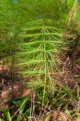 pic of horsetail  - equisetum  - JPG