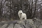 stock photo of horrific  - Arctic Wolf in winter in a forest - JPG