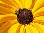 picture of black-eyed susans  - A bee gathers pollen from a black eyed susan daisy - JPG