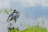 picture of wetland  - A blue heron begins to take flight in still Florida wetlands