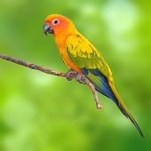 image of tame  - Beautiful Sun Conure Parrot bird perching on a branch on green background - JPG