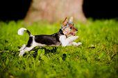 foto of yorkie  - small biewer yorkie puppy outdoors in summer - JPG