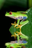 stock photo of red eye tree frog  - Red Eye Tree Frog from Costa Rica - JPG