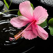 stock photo of tendril  - Beautiful spa concept of pink hibiscus green tendril passionflower and zen stones with drops on ripple reflection water closeup - JPG