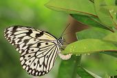 stock photo of green caterpillar  - Large Tree Nymphs butterfly - JPG