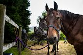 foto of carriage horse  - A team of four horses wait patiently in a training field ready to be harnessed to pull a carriage - JPG