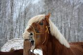 stock photo of stable horse  - Palomino draught horse cribbing wooden fence (stable vice) ** Note: Visible grain at 100%, best at smaller sizes - JPG
