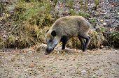 image of boar  - Wild boar searching food in the forest - JPG