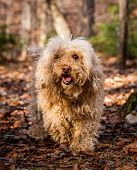 pic of poodle  - A brown poodle walking in the forest - JPG