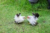 image of bantams  - Two white chickens on green grass - JPG