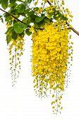 picture of cassia  - Beautiful yellow flower Golden shower  - JPG