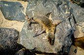 picture of sea lion  - sea lions resting on rocks in san cristobal galapagos islands ecuador - JPG
