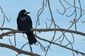 image of raven  - Raven sitting on a branch covered with frost crystals - JPG