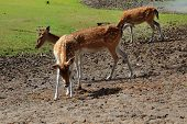 stock photo of deer family  - three young female Sika deer stroll through the pasture