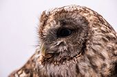 foto of bestiality  - Portrait of a Tawny Owl isolated in white background