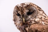 stock photo of bestiality  - Portrait of a Tawny Owl isolated in white background