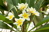 picture of frangipani  - White Plumeria spp. (frangipani flowers Frangipani Pagoda tree or Temple tree) on tree