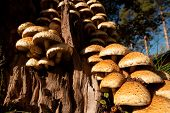 stock photo of fungus  - Group of many Armillaria fungus in a tree stump - JPG