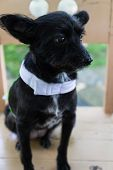 foto of dog clothes  - mongrel black dog wearing green cloth sitting on wooden chair - JPG