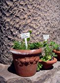 picture of catnip  - medicinal herbs for tea - JPG
