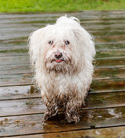 foto of maltese  - Maltese dog covered in mud waiting to get inside - JPG