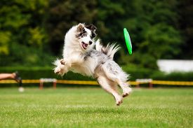 image of toy dogs  - Border collie dog catching frisbee in jump in summer - JPG