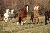 picture of running horse  - Batch of horses running in autumn together - JPG