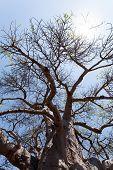 stock photo of baobab  - majestic old baobab tree  - JPG
