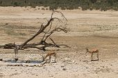 image of secretary  - A secretary bird and springok at waterhole Kgalagadi National Park South Africa - JPG