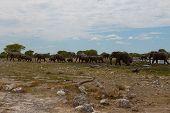 stock photo of herd  - Herd of elephants from Etosha National Park Namibia - JPG
