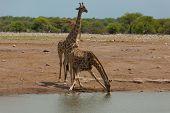 pic of herd  - Herd of giraffes from Etosha National Park Namibia - JPG