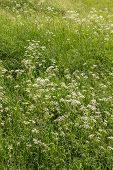 picture of tall grass  - Field of Cow Parsley in amongst tall grass - JPG