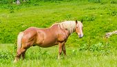 image of bay horse  - Bay horse chewing grass on a mountain pasture in the background of meadows - JPG