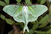 stock photo of moth  - A  Luna Moth perched on a plant - JPG