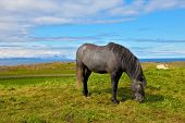 picture of iceland farm  -  Farmer sleek gray horse - JPG