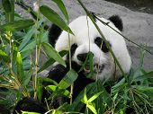 picture of panda  - Giant Panda Bear Feeding on Bamboo Leaves - JPG