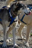 image of harness  - Alaskan sled dog harnessed for summer training
