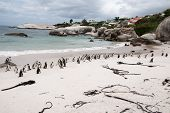 foto of jackass  - A group of penguins on a beach in South Africa  - JPG