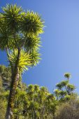 picture of australie  - The cabbage tree is one of the most distinctive trees in the New Zealand landscape - JPG