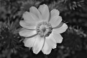 stock photo of adonis  - Adonis flower closeup - JPG