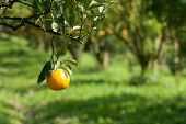 stock photo of orange-tree  - Closeup fresh orange on plant - JPG