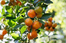 pic of orange  - Closeup fresh orange on plant - JPG