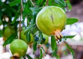 Постер, плакат: Green Pomegranate On The Branch The Foliage On The Background